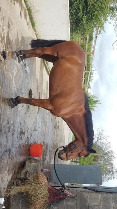 16.2 Irish Sport Horse gelding