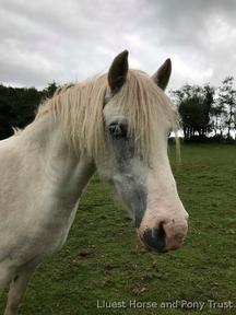 12.2hh companion pony - Charity re-home