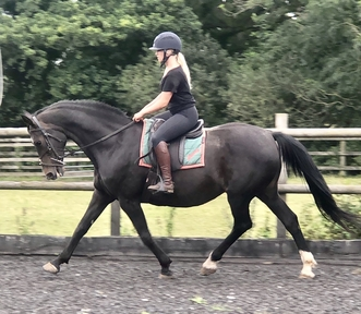 Lovely 16.2hh KWPN mare