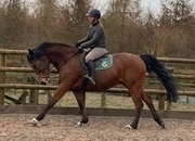 Handsome 16.1hh polish Warmblood gelding