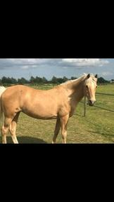 14.2 palomino for sale