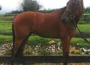 Super Eventer 5 year old