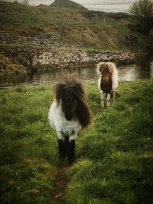 Miniature shetlands for sale