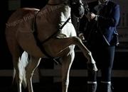 Stunning Palomino high school Stallion
