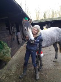 Pretty grey Irish sports horse