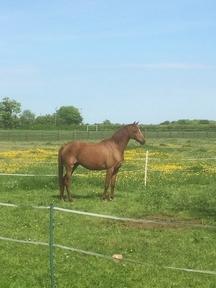 British Riding Pony