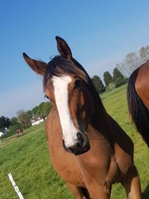 European sports horse filly.
