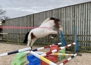 Stunning ISH - 15.3hh/16hh Bold & Scopey Coloured Gelding