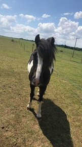 13.3hh Loveable Pony