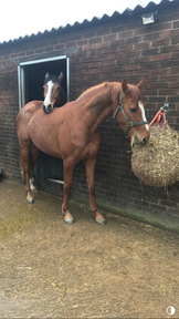 Exceptionally well bred sports horse