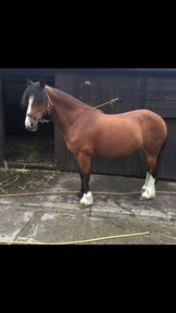 14.1/14.2hh 10 year old mare