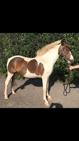 13.1hh 3yr old Cob x filly
