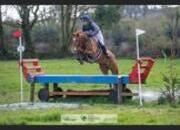 15.3hh 5 year old Eventer