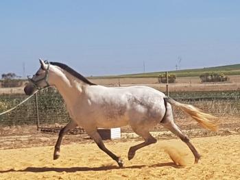 PRE breeding mare