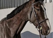 16hh 4yr old competition horse