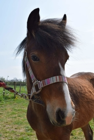Bonnie Lass - Yearling Filly to make 13hh  cob cross