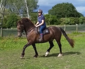 Chocolate Dun 15.2hh 8 years old Welsh Cob Gelding