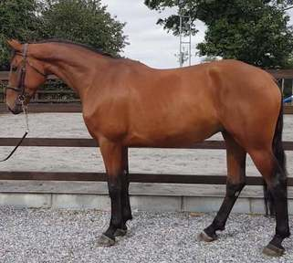 16.3hh 4yr Old by OBOS Quality