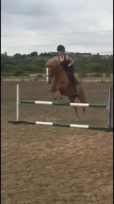 13.2hh Part bred new forest pony