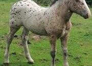 Rare Tiger/Black Leopard Spotted Noriker foal