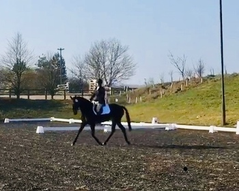 Lovely 16.2hh mare for long term loan