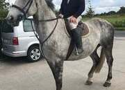 17hh 9yr old RID hunter/all-rounder