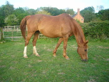 Rideable Broodmare by