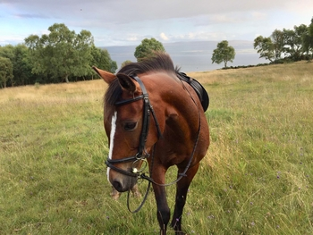 14.2hh New forest Bay Gelding For Sale
