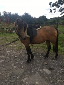 Super cute dun gelding looking for a home