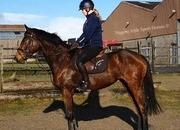 Super 16/16.1hh 5 year old Mare from her Breeder