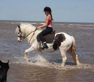 14.1hh cob mare