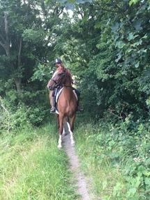 Hackney mare 15h