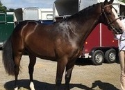Super 5 year old Small Show Hunter/Eventer/Alrounder