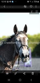 5 ** home 16hh Irish draught x shire 6 yr mare