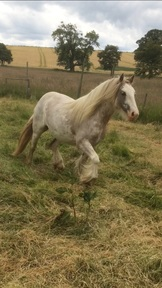 2 year old Blagdon cob filly