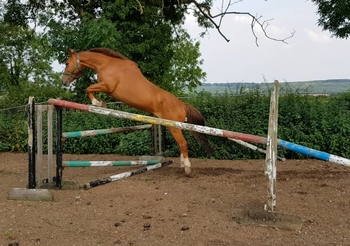 AES warmblood Mare