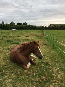 Welsh section D mare for loan