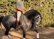 Stunning PRE Stallion 171 cms