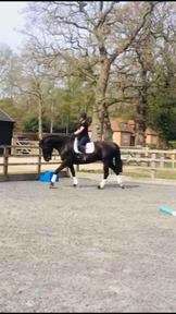 Lovely 16.2hh 10 year old Warmblood Cross