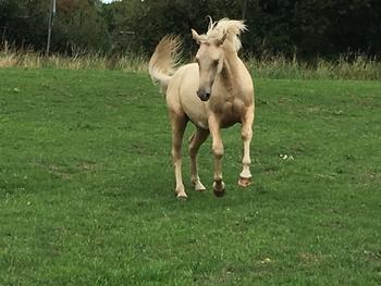 Palomino Quantock pony PBA