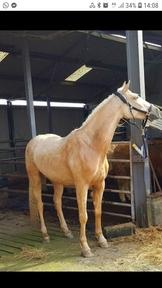 Stunning 5 year old Irish sports horse