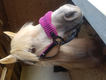 Palomino Welsh sec b pony