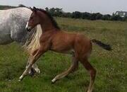 Potential H/W Showhunter foal