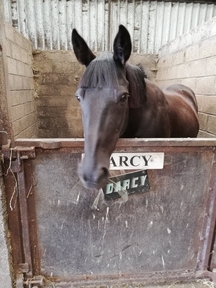 Darcy 14.2hh Horse for sale