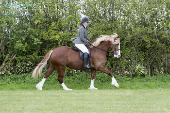 Top quality Welsh D Mare