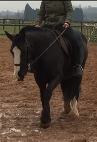 14.2hh 8 year old cob mare