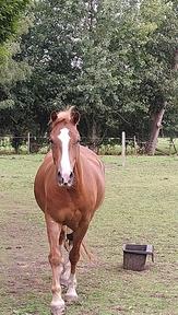 Kind Pony for sale/long term loan