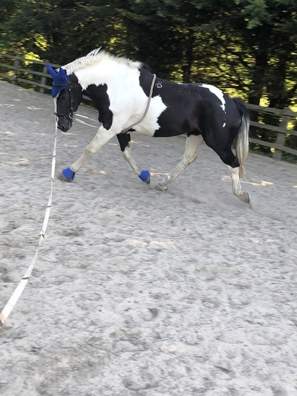 Flashy piebald cob mare 12 years 16.1hh