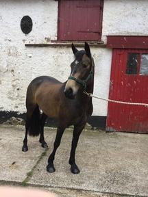 4 yr old Connemara pony