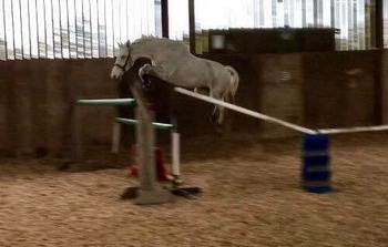 Striking 13 y/o 16.1hh Dutch Warmblood Mare